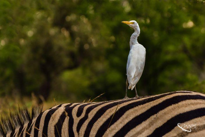 Cattle Egret sitting on a Zebra