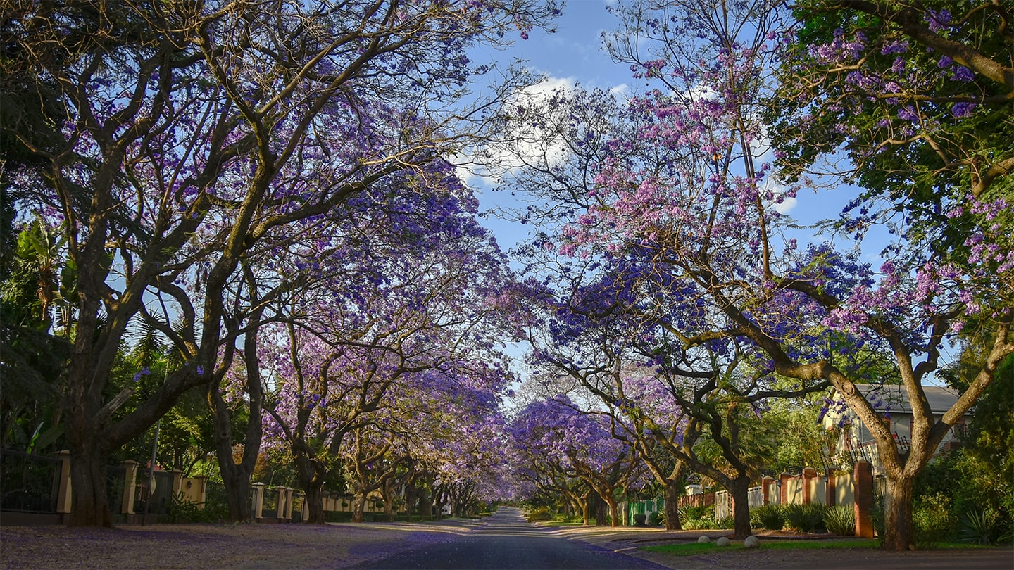 Galaxias Home Page, Jacaranda in Farrel St