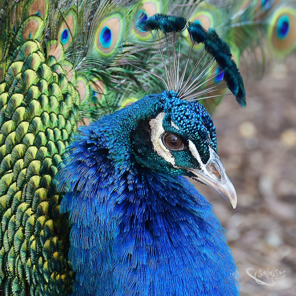 Peacock by Galaxias Photography