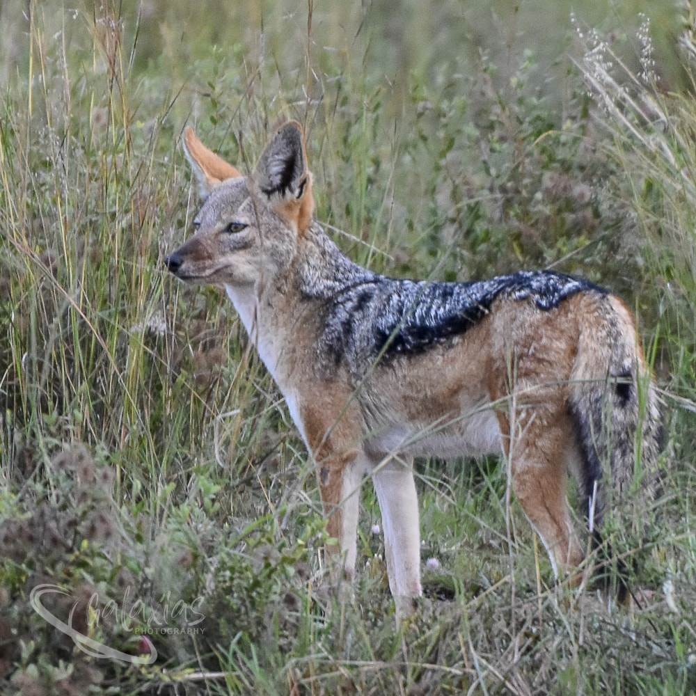 Black-Backed Jackal by Galaxias Photography