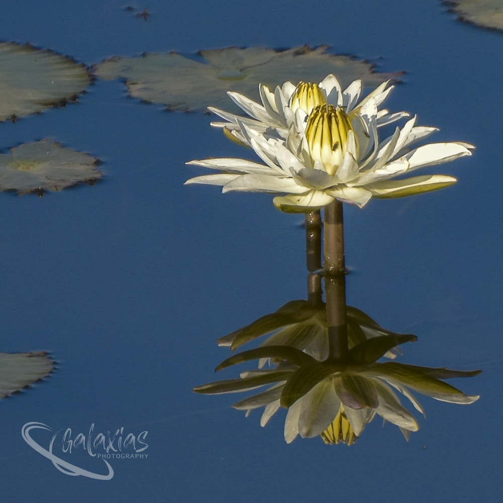 Water Lily Star by Galaxias Photography